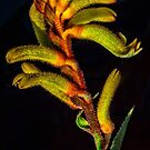 Kangaroo Paw by Bette Devine