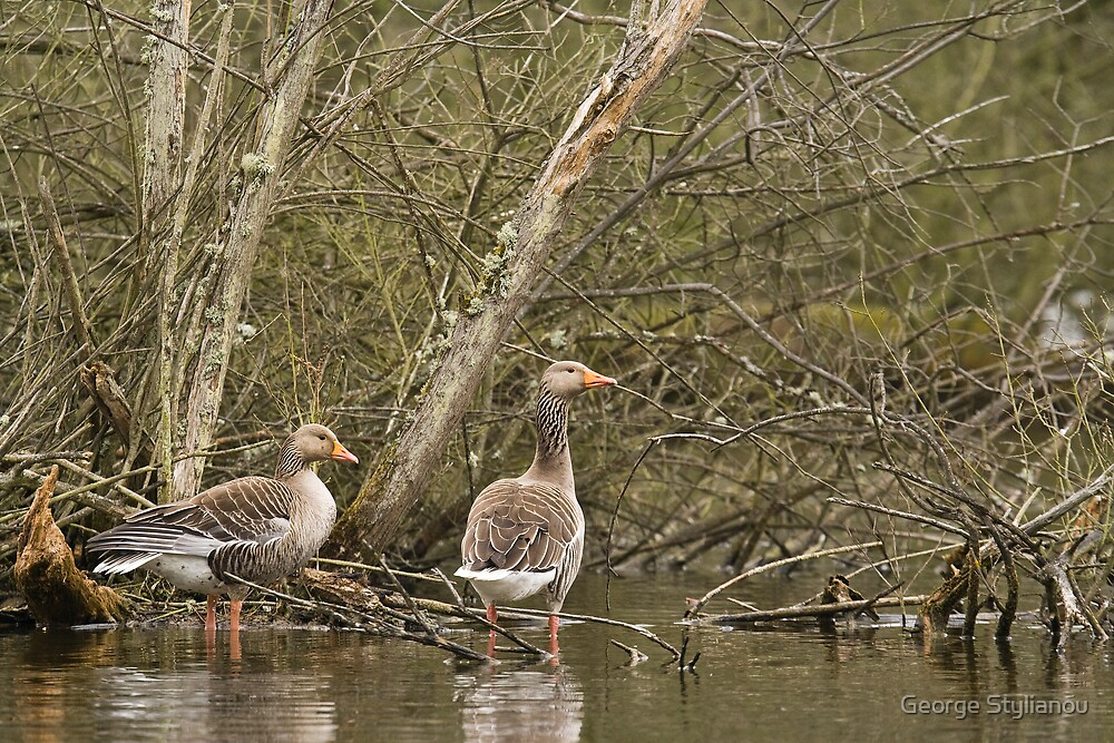 Geese in the marsh by George Stylianou