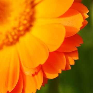 Marigold - Uno by rabeeker
