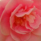 Camellia in Pink by Linda Scott