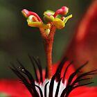 Crimson passion flower by AnnaKT