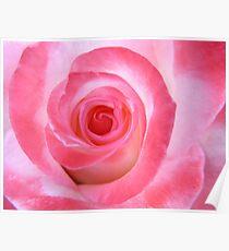 Pink White Rose Poster