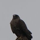 Swainson Hawk 01 by janetmarston