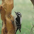 Female Hairy Woodpecker by janetmarston