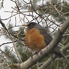 Male Robin in Grand Lake Colorado by janetmarston