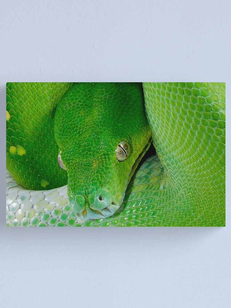 Alternate view of Green Tree Python [Morelia viridis] Canvas Print