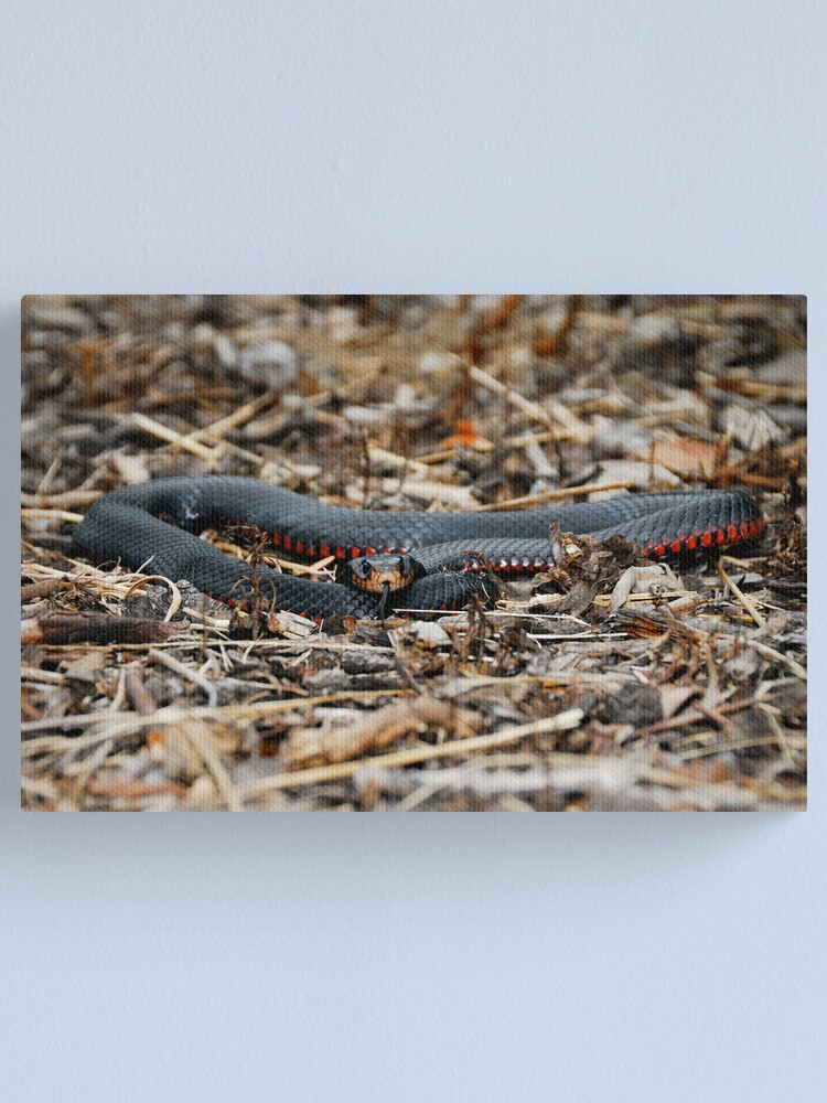 Alternate view of Red-bellied Black Snake [Pseudechis porphyriacus] Canvas Print
