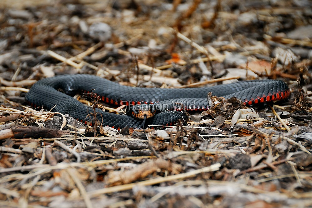 Red-bellied Black Snake [Pseudechis porphyriacus] by Shannon Wild
