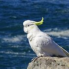 Sulphur-crested Cockatoo by Steven Guy