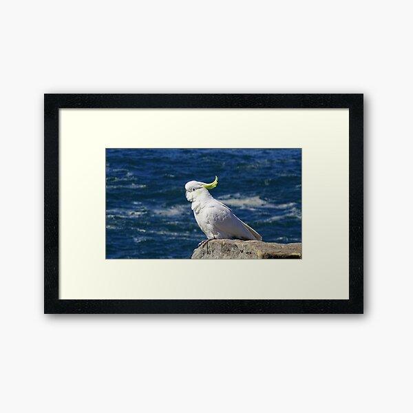 Sulphur-crested Cockatoo Framed Art Print