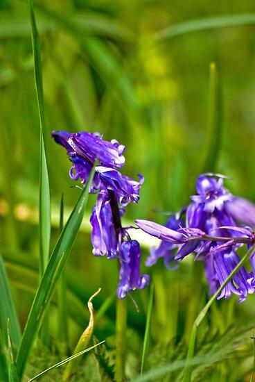 Wild Flowers - Bluebells by Trevor Kersley