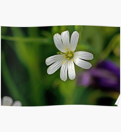 Wild Flowers - Stitchwort Poster