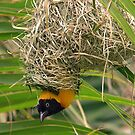Lesser masked weaver in nest by Anthony Goldman