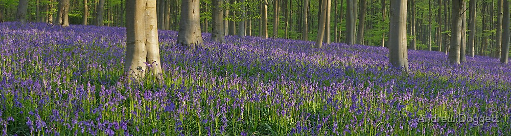 Bluebells by Andrew Doggett