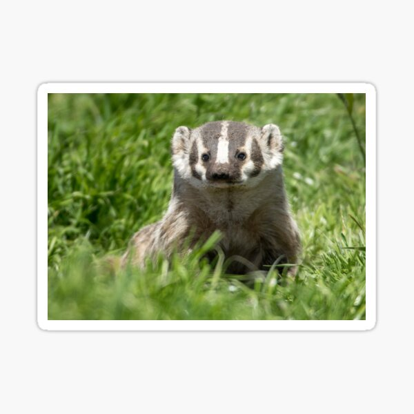 Moment of badger Sticker
