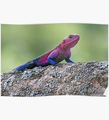 Agama Lizard, Serengeti National Park ,Tanzania Poster