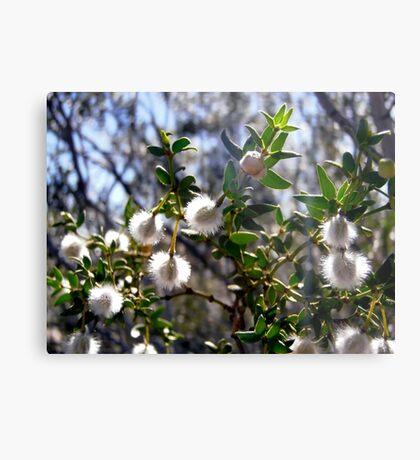 Creosote bush seeds Metal Print