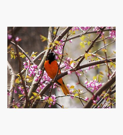 Baltimore Oriole Photographic Print