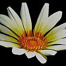 Daisy Bloom by Lynda Anne Williams