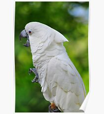 Umbrella Cockatoo Poster