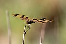 Graphic Flutterer Dragonfly - Rhyothemis graphiptera by Normf
