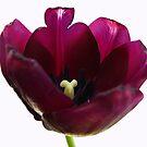 Purple Tulip Two by Yvonne Carsley