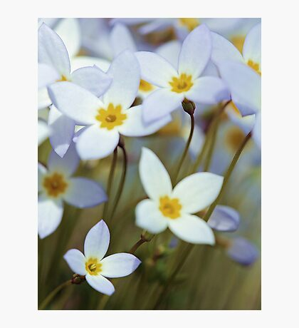 -Azure Bluets Photographic Print