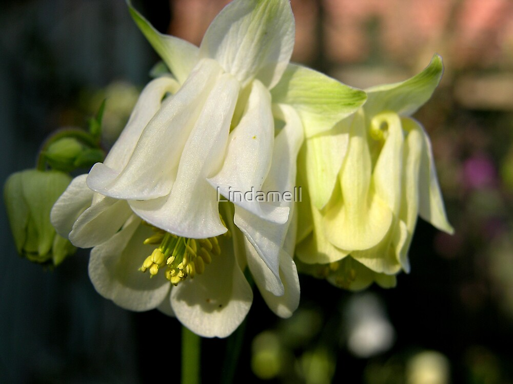 Aquilegia by Lindamell