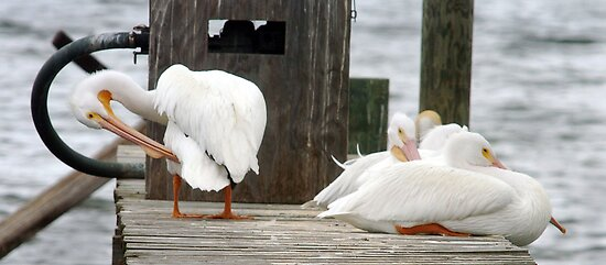 Fuel dock pelicans by Larry  Grayam
