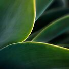 Agave curves by Celeste Mookherjee
