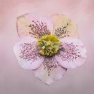 Pink Helleborous flower by Sara Sadler