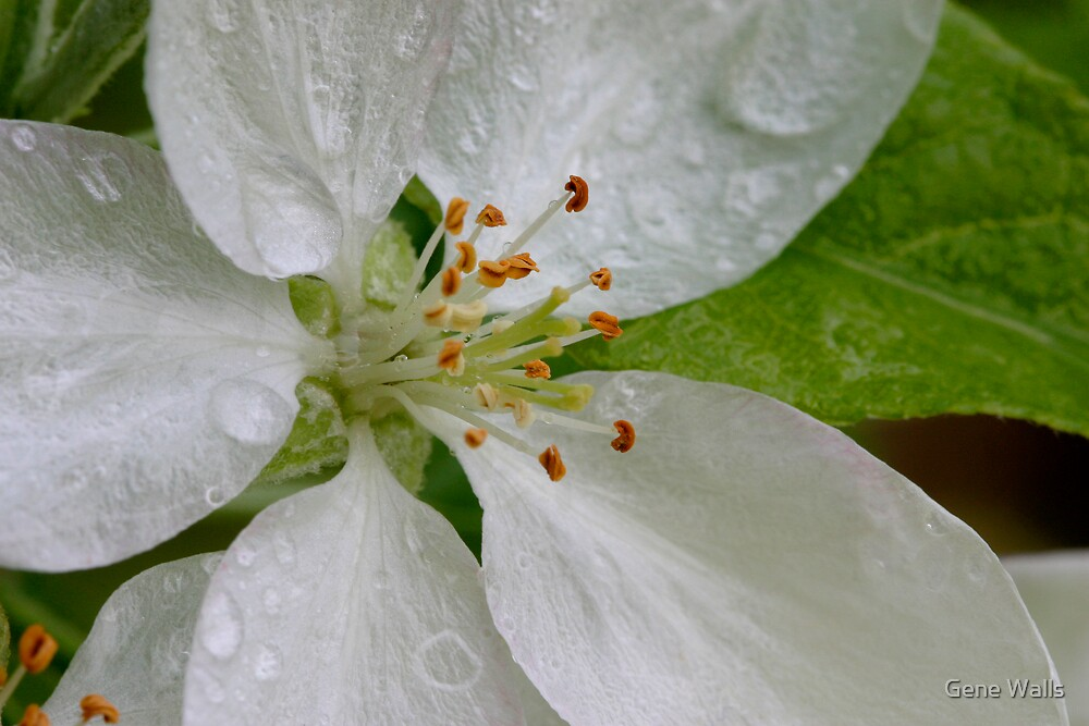 Heart Of A Tiny Apple Blossom by Gene Walls