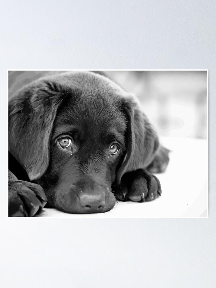 Black Lab Puppy Chocolate Lab Puppy Black White Puppy Poster
