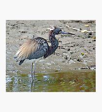 Tricolored Heron Photographic Print
