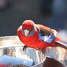 Crimson Rosella Feeding by Tim Miller