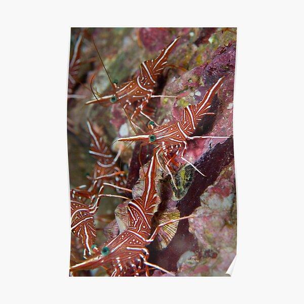 Cleaner shrimp  Poster