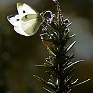 Butterfly on rosemary by nadine henley