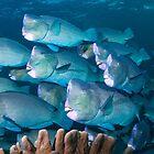 Bumphead Parrotfish, Sipadan, Sabah, Malaysia by Erik Schlogl