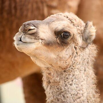 Small camel, UAE  by sylvianik