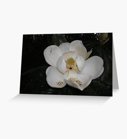 Southern Magnolia - first blossom Greeting Card