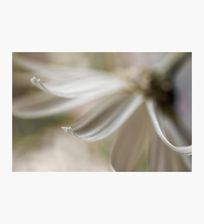 The petal Photographic Print