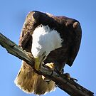 American Bald Eagle by enyaw