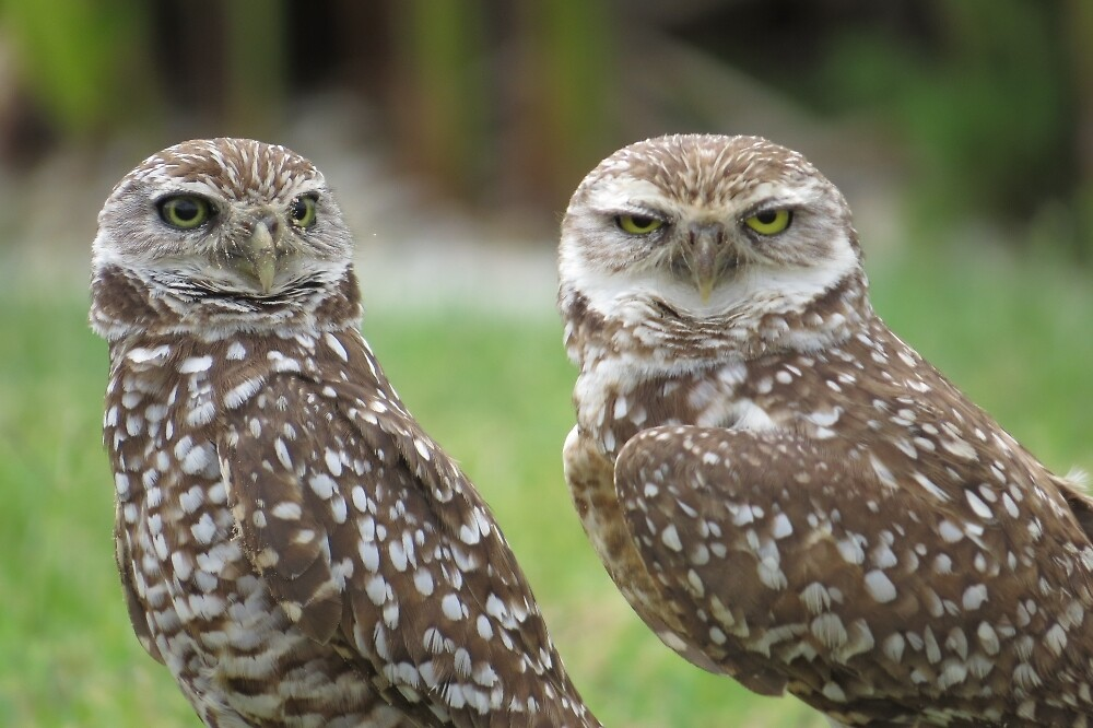 Burrowing Owls by enyaw