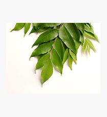 Curry Leaves Photographic Print