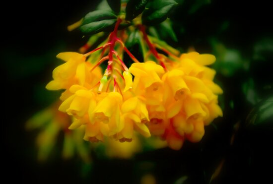 Yellow Bells by kcphotography