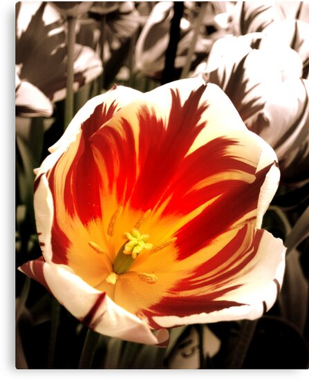 Tiger Tulips by MEV Photographs