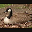 Nesting Goose by jorge gallardo