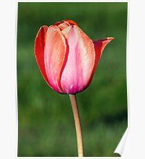 Beautiful Pastel Tulip Poster