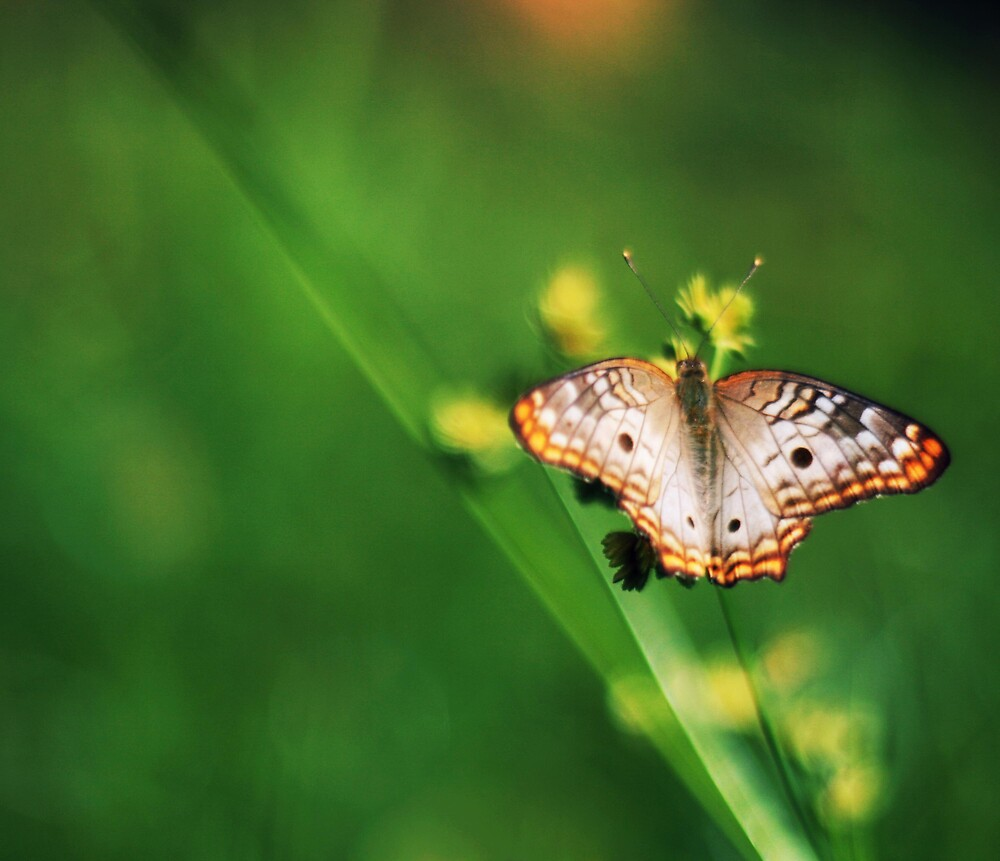 Butterfly by Victor Oliveira
