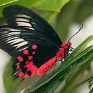 Papilionidae - Atrophaneura semperi by Bonnie T.  Barry